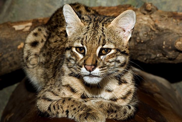 Geoffroy S Cats Leopardus Geoffroyi