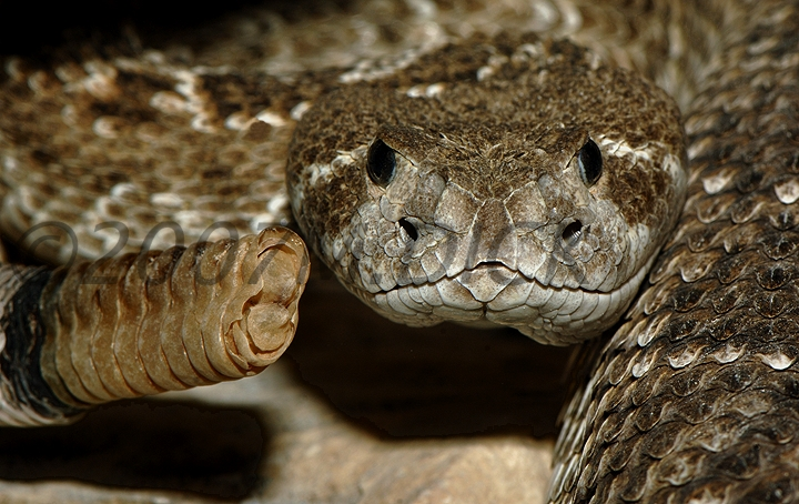 Diamondback Rattlesnake Eyes